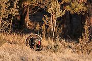 Merriam's Turkey gobbler strutting during spring in Wyoming