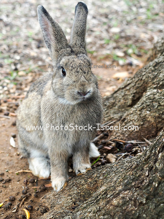 European rabbit (Oryctolagus cuniculus). This rabbit inhabits any area with soft soil that is suitable for burrowing, but will generally avoid dense forest. It is a herbivore, feeding on grasses, roots, tree bark and other vegetation. Adult males reach up to 55 centimetres in length. Photographed in Croatia