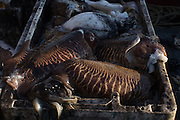 """8.6.15 On Board 'Kaya' RX89. Catch of the day. On 1st of January 2014 DEFRA stated that a new Common Fisheries Policy had come into force, including """"commitments to eliminate discards and decentralise decision making away from Brussels. It also has legally binding requirements to set fishing rates at sustainable levels."""" But fishermen say change may be too slow."""