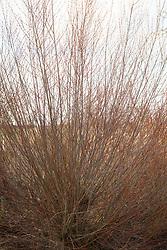 Salix purpurea 'Nancy Saunders' in winter. Willow