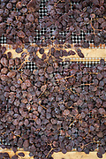 Close-up of Zibibbo grapes during the drying process. These grapes have been drying in an open-air stenditoio building for a few days on the island of Pantelleria