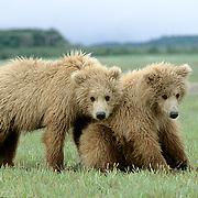 Alaskan Brown Bear, (Ursus middendorffi)  Portrait of cubs. Katmai National Park. Alaska.