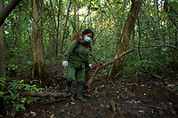 A keeper at IAR carries a juvenile orangutan on her back and walks with another from their cage to a patch of forest where they will learn skills for the wild <br /><br />International Animal Rescue (IAR)<br />Ketapang <br />West Kalimantan Province<br />Island of Borneo<br />Indonesia