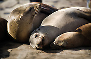 Sea Lions Close Up