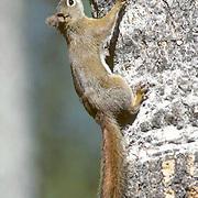 Red Squirrel, (Tamiasciursus hudsonicus) Clinging to tree trunk.