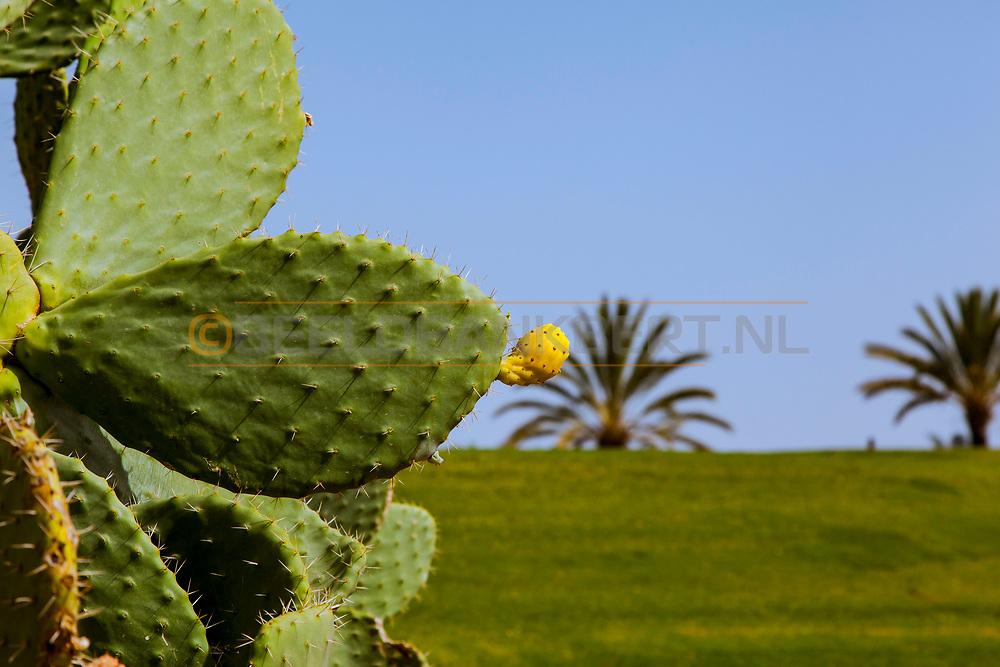 06-10-2015 -  Foto van Cactus bij Assoufid Golf Club in Marrakech, Marokko. De 18 holes van de Assoufid Golf Club zijn ontworpen door Niall Cameron. Bij helder weer bieden enkele holes fraaie uitzichten op het Atlas gebergte.