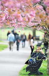 © Licensed to London News Pictures. 12/04/2019.<br /> Greenwich, UK.A lady listening to music with headphones. A cloudy day has been brightened up by the pink cherry blossom at Greenwich Park, London. Photo credit: Grant Falvey/LNP