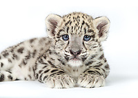A captive male snow leopard cub, Panthera uncia, approximately seven and a half weeks old, portrait, laying on white background.