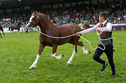 © Licensed to London News Pictures. 24/07/2018. Llanelwedd, Powys, UK. Winner of the Two-year-Old Colt' class, section D does a lap of the ring on the second day of the Royal Welsh Agricultural Show. The Royal Welsh Agricultural Show is hailed as the largest & most prestigious event of its kind in Europe. In excess of 200,000 visitors are expected this week over the four day show period. The first ever show was at Aberystwyth in 1904 and attracted 442 livestock entries. Photo credit: Graham M. Lawrence/LNP