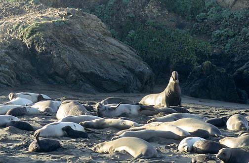 Northern Elephant Seal, (Mirounga angustirostris)  Beachmaster bellows challenge. California.