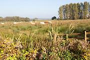 Cattle grazing in wetland water meadow at Eastbridge, Suffolk, England, UK