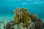 Blade Fire Coral (Millepora complanata)<br /> Lighthouse Reef Atoll<br /> Belize<br /> Central America