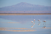Flamingos at Salar de Atacama in Atacama Desert, Chile