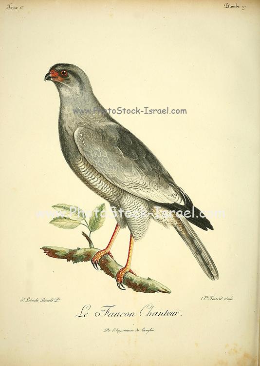 FAUCON CHANTEUR Singing Falcon Bird of Prey from the Book Histoire naturelle des oiseaux d'Afrique [Natural History of birds of Africa] by Le Vaillant, François, 1753-1824; Publish in Paris by Chez J.J. Fuchs, libraire .1799