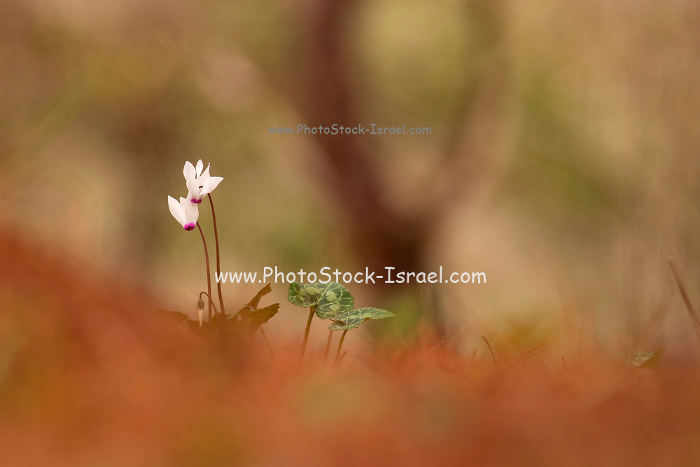 Flowering Persian Violets (Cyclamen persicum). Photographed in Manashe Forest, Israel in December.