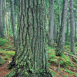 T8 R10 Wels, ME. Red spruce, Picea rubens, in an old-growth softwood forest.  The Nature Conservancy's Big Reed Forest Reserve.  Northern Forest.