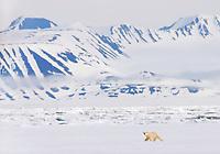Polar bear, Ursus maritimus, Spitsbergen, Svalbard, Norway