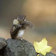 Eastern ceahipmunk (Tamias striatus) holding its tail. Fall in Minnesota