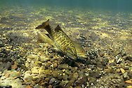 Smallmouth Bass (spawning pair)<br /> <br /> Engbretson Underwater Photography