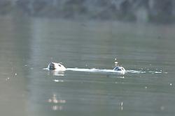 Harbor Seals (Phoca vitulina) in Obstruction Pass off Orcas Island, San Juan Islands, Washington, US