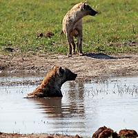 Africa, Botswana, Savute. Wild Dogs in water at Chobe.
