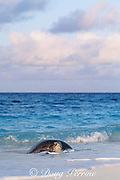 green sea turtle, Chelonia mydas, comes ashore to nest, Flinders Reef, Coral Sea, Australia