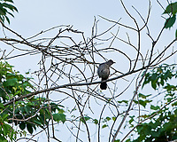 Gray Catbird. Image taken with a Nikon D3x camera and 500 mm f/4 VR lens.