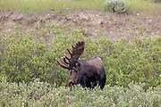 A mature Shiras Moose bull in riparian habitat