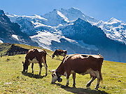 """Cows graze in alpine pastures at Kleine Scheidegg beneath the icy peak of Jungfrau (4158 meters or 13,642 feet) in the Berner Oberland, Switzerland, the Alps, Europe. The Bernese Highlands are the upper part of Bern Canton. UNESCO lists """"Swiss Alps Jungfrau-Aletsch"""" as a World Heritage Area (2001, 2007)."""