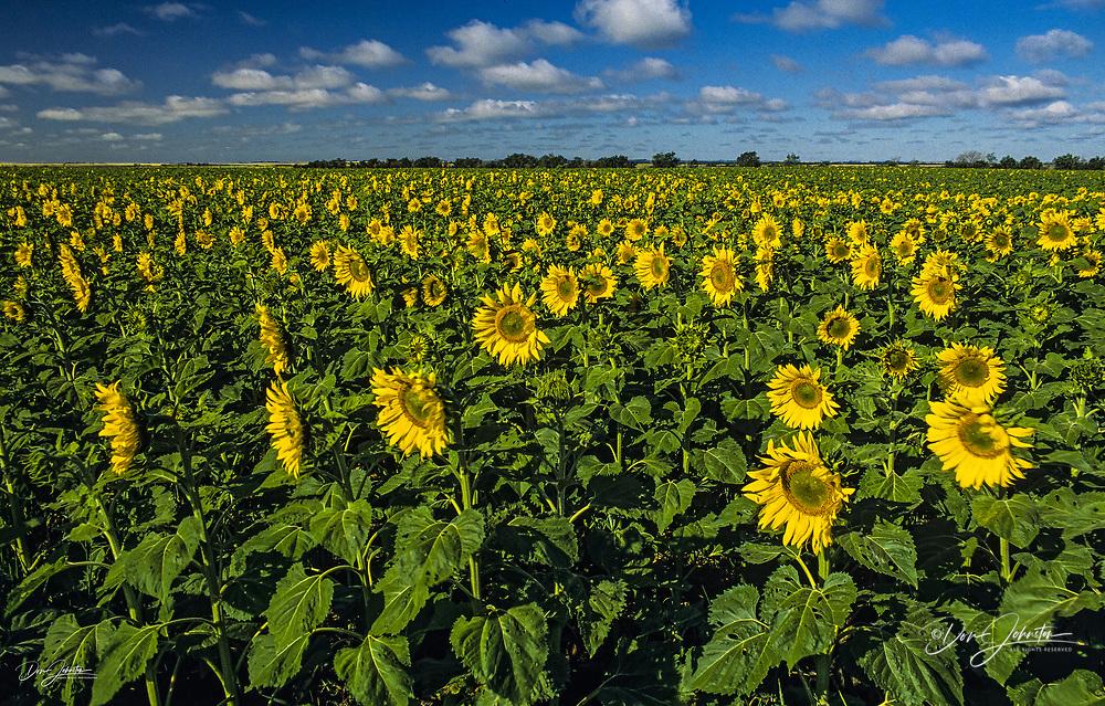 Sunflower crop, Eastern North Dakota, North Dakota, USA