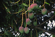 Mango tree, Hawaii<br />