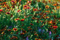 Backlit firewheels and other assorted wildflowers along roadside of Highway 34 between Ennis and Kaufman, Texas, USA. (Need ID