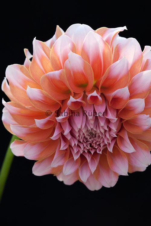 Dahlia 'Peaches' - ball dahlia