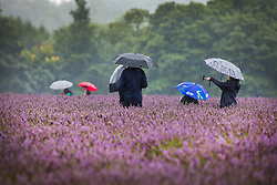 © Licensed to London News Pictures. 09/08/2017. Banstead, UK. Visitors to Mayfield Lavender Farm brave the summer rain. Bands of heavy unseasonal rain are crossing the UK. Photo credit: Peter Macdiarmid/LNP