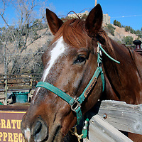 North America, USA, New Mexico. Horse at riding stables of Bishop's Lodge Resort near Santa Fe, New Mexico.