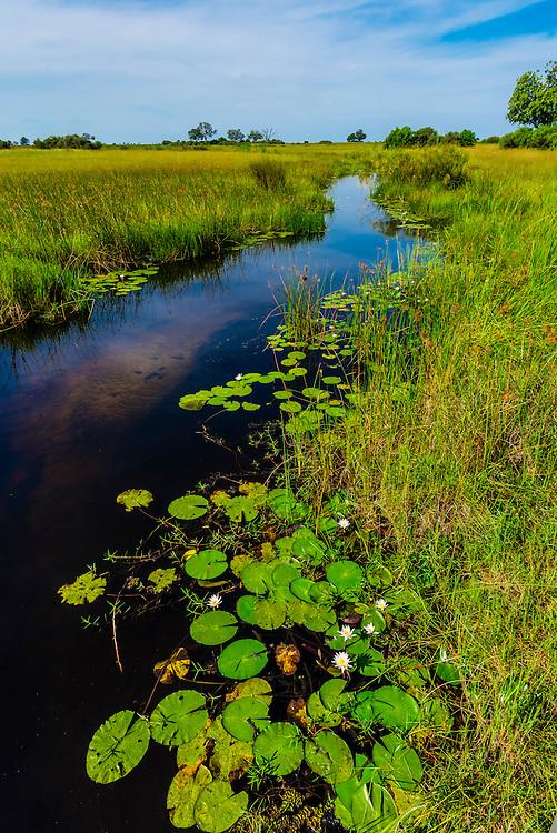 Water lilies, Lebala Camp, Kwando Concession, Linyanti Marshes, Botswana.