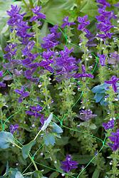 Salvia viridis - blue growing up through netting
