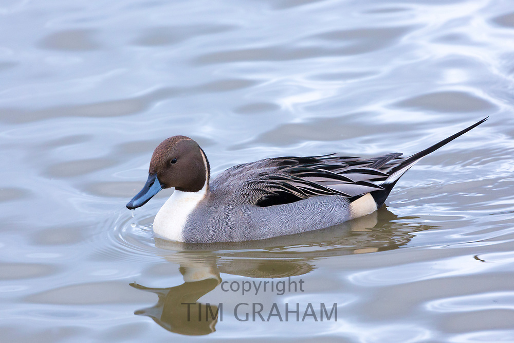 Male Pintail duck - Anas acuta - at on the lake Slimbridge Wildfowl and Wetlands Centre, England, UK
