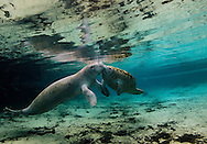 Manatee calf and mother
