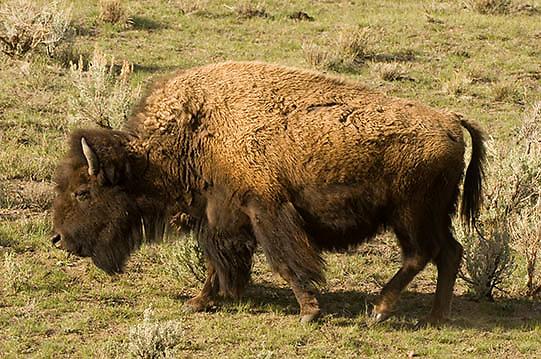 Bison (Bison bison) Yellowstone National Park. Spring. April.