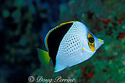 Tinker's butterflyfish, Chaetodon tinkeri,<br /> known only from Hawaii, USA and Marshall Islands<br /> Kona, Hawaii, USA ( Pacific )