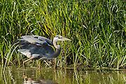 USA, Oregon, Baskett Slough National Wildlife Refuge, Great Blue Heron (Ardea herodias) hunting