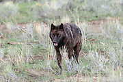 Gray wolf in habitat
