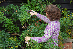 Pruning a climbing rose in autumn. Cutting back the stems that have finished flowering with secateurs