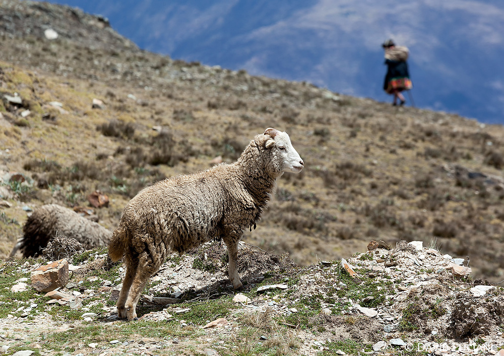 There are three types of sheeps in Peru: Corriedale, Criollo and Junin. The Junin is a typical Peruvian breed originally created by cross-breeding different sheeps in Junin, a town located in Central Peru.