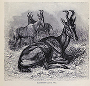Hartebeest (Alcelaphus buselaphus), also known as kongoni, is an African antelope From the book ' Royal Natural History ' Volume 2 Edited by Richard Lydekker, Published in London by Frederick Warne & Co in 1893-1894