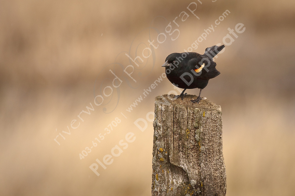 I'm happy to have the Blackbirds back as they are very curious and fun to watch.  They sing all the time and are never too shy to pose for the camera!..©2009, Sean Phillips.http://www.Sean-Phillips.com