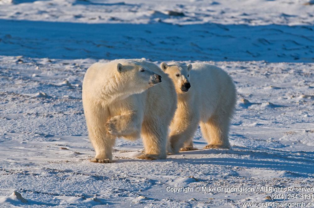 Two polar Bears (Ursa maritimus) on sub-arctic Hudson Bay <br />Churchill<br />Manitoba<br />Canada
