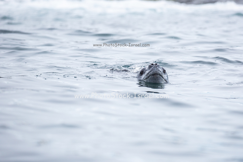 Leopard seal (Hydrurga leptonyx) swimming in the icy water. Antarctica.