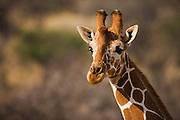 Close-up portrait of a Rothchild giraffe ( Giraffa camelopardalis rothschildi),Lake Nakuru,Kenya, Africa